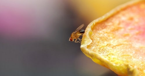 fruitvlieg