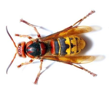 steekvliegen hoornaar