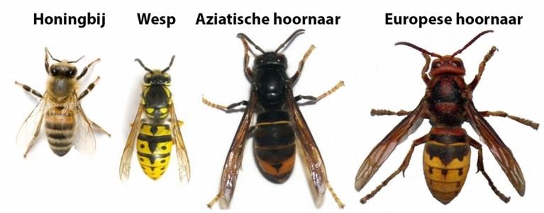 aziatische hoornaars wespen