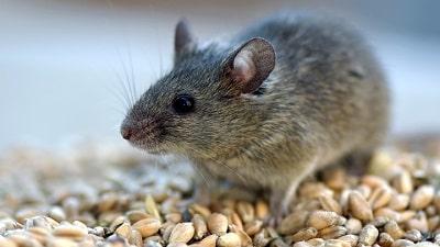 muizen bestrijden