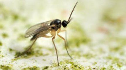 kleine vliegende insecten in huis