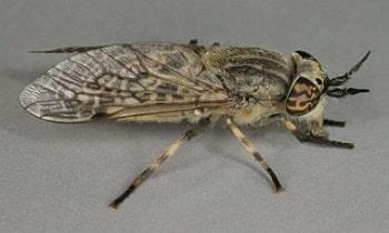 steekvliegenbeet regendaas