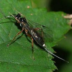 insect met lange staart sluipwesp